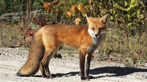 best fox pictures foxes wintering in algonquin provincial park