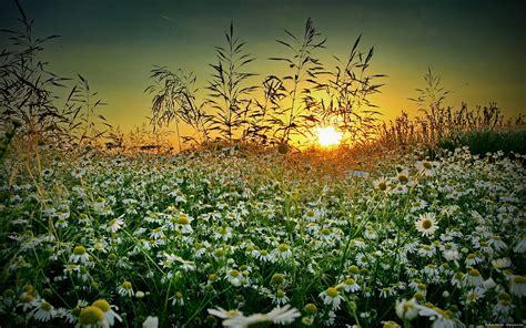 wildflower background grass chamomile sunset summer wildflower d wallpaper