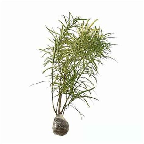 jual tanaman puring teri bibit