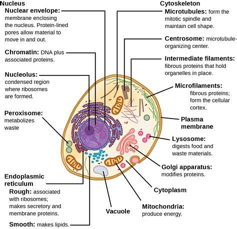eukaryotic cells openstax biology