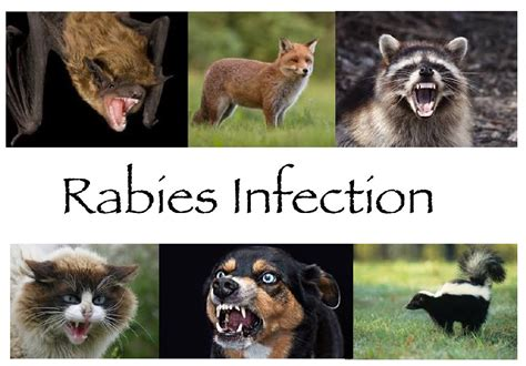 side effects of rabies vaccine in puppies the rabies vaccine for dogs side effects and precautions you can take pets world