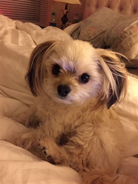 mixed with yorkie 1000 ideas about pomeranian mix on dogs for