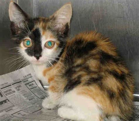 11 best images about calico cat on pinterest orange cats