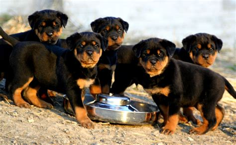 rottweiler puppies in louisiana louisiana town to confiscate and kill all pit bulls and rottweilers state usa