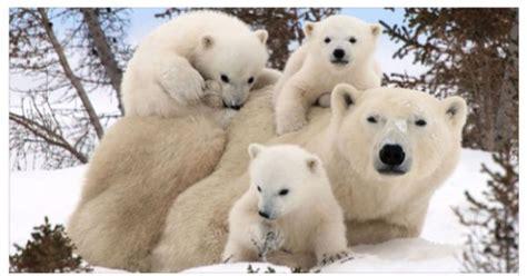 imagenes de la familia de osos familia de osos polares osos pinterest familia de