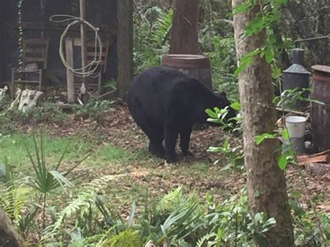 everglades boat rentals ochopee fl black bear on sw buggy tour picture of wooten s