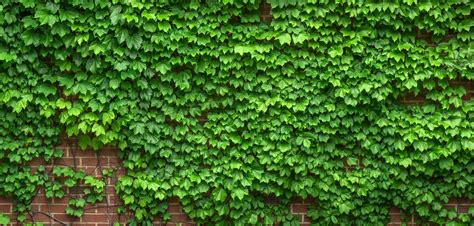 vine wallpaper for walls free images tree nature abstract vine texture leaf