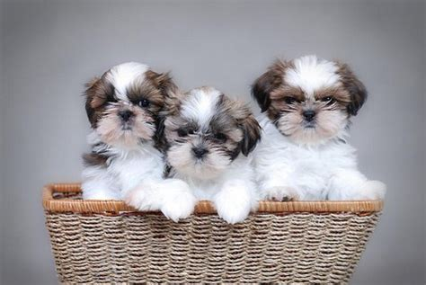 how big can a shih tzu grow shih tzu daily top 6 shih tzu haircuts