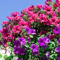 fertilizer for petunias with pictures ehow