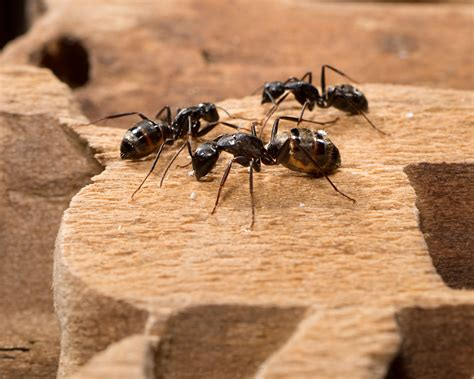 carpenter ant signs learn the signs of carpenter ants