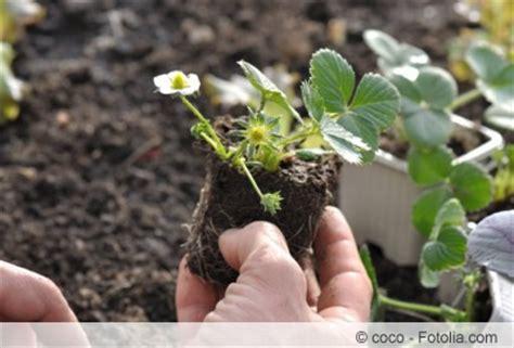 wann pflanzt bã ume um wann pflanzt clematis wann pflanzt erdbeeren