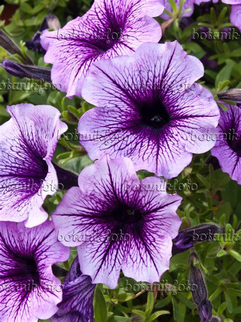 Petunien Bilder by Bilder Petunie Bilder Und Pflanzen Und G 228 Rten