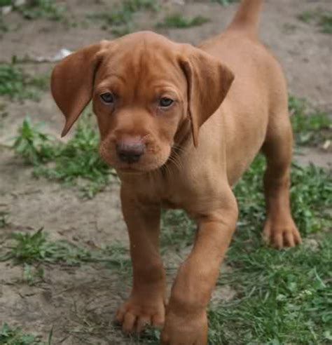 how much are vizsla puppies hungarian vizsla puppies pics