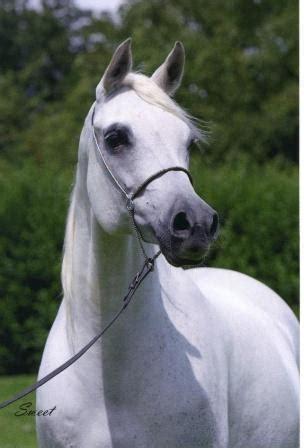 Somad Horee arabian horses stableexpress