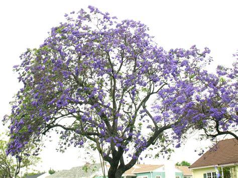 pasadena s purple trees pasadena real estate guide