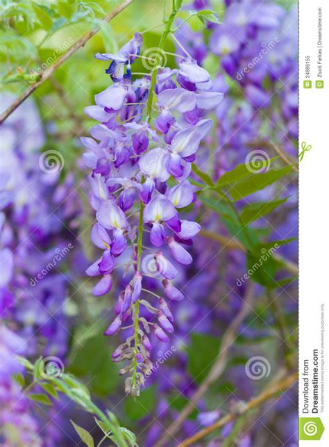 copy right free pictures of purple wisteria wisteria royalty free stock photo image 34886155