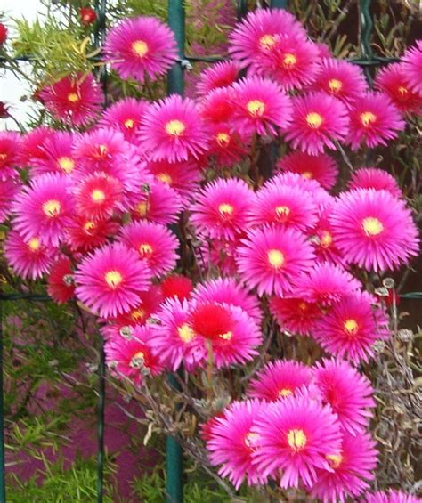 fiori fuxia un altro po di fiori scarabocchiando