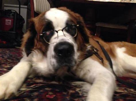 st bernard puppies mn view ad bernard puppy for sale minnesota new usa