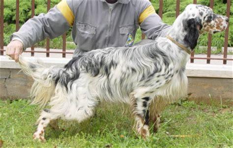 alimentazione pastore tedesco 7 mesi alimentazione setter inglese cibo per cani comcibo per cani