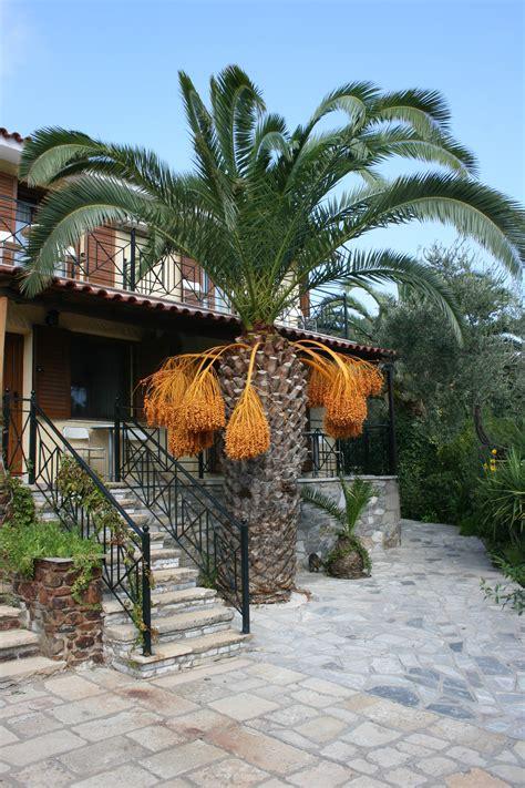 palm tree orange fruit file palm tree with orange fruit jpg wikimedia commons