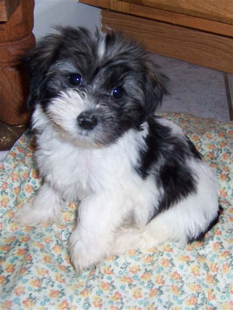 havanese rescue ohio rescue related keywords suggestions rescue keywords
