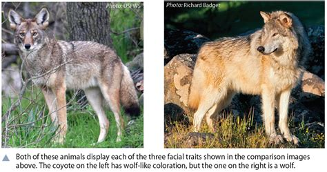 what color are wolves picture source differences between gray wolves the