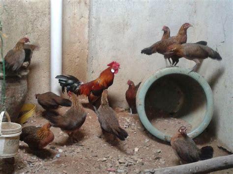 Anakan Ayam Hutan Betina jf2013 eksotik betina ayam hutan