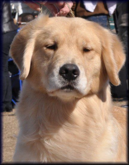 golden retriever shop near me golden retriever puppies near nashville tn photo