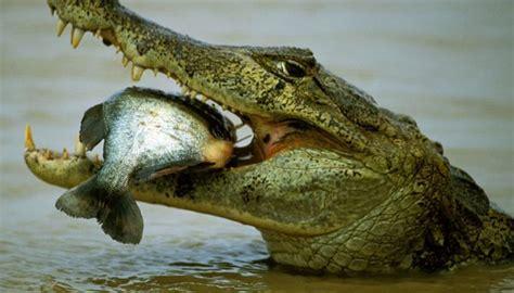 191 de qu 233 se alimenta el cocodrilo