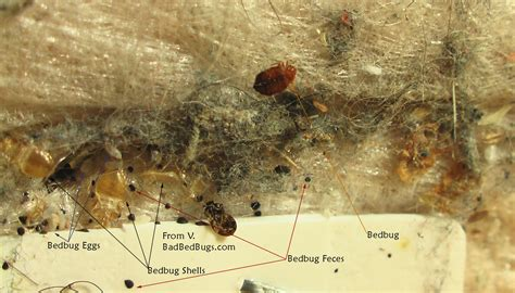 bed bug eggs pictures bed bug eggs in carpet bangdodo