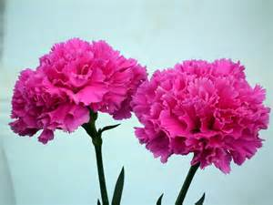 carnation flower beautiful pink carnation flower 171 wallpaper tadka
