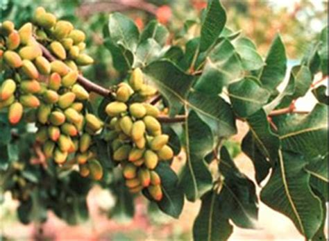 pista tree images tropicalfruitandveg about pistachio