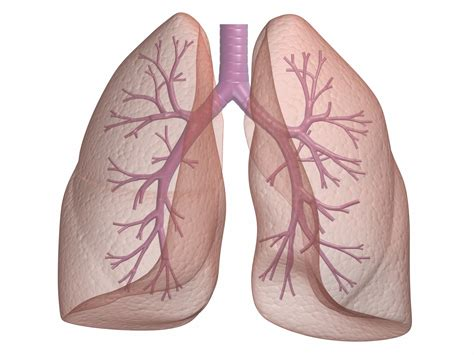 blogger lung golden human lung myblog s blog