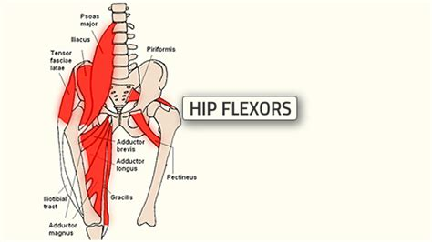 diagram of the hip anterior hip muscles diagram anterior get free image