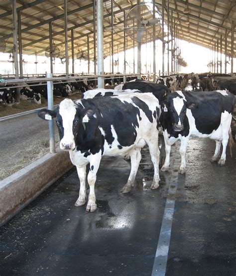Cow Stall Mats by Cow Mats Rubber Stall Mats For Cow Comfort Animat