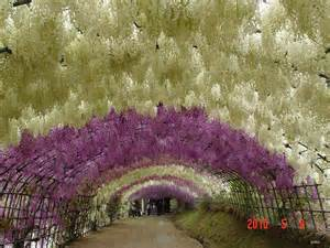 Flower Tunnel by Eclectitude Wisteria Tunnel Kawachi Fuji Gardens Japan