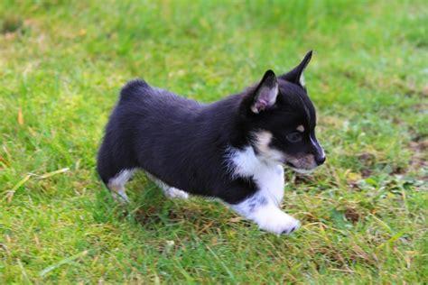 cowboy corgi puppy cowboy corgis available puppies breeds picture