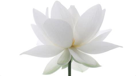 what is white lotus white lotus flower img 8528 1200 white lotus flower