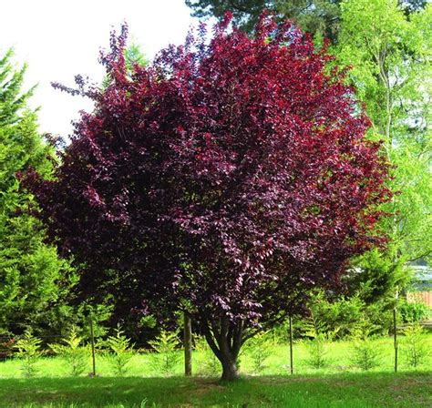 prunus da fiore prunus piante da giardino coltivare prunus