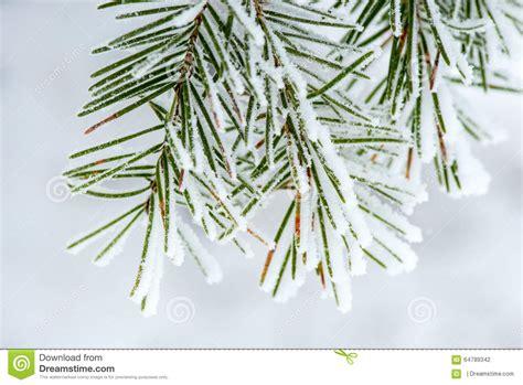 snow needle pine tree snow collected on pine needles stock photo image 64789342