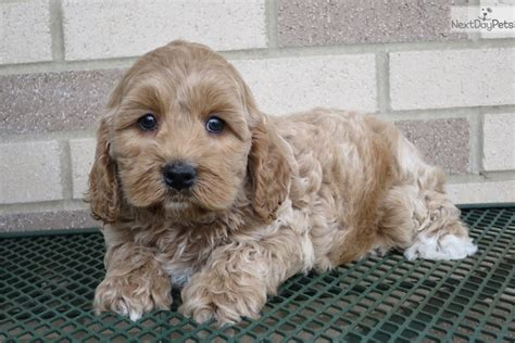 cockapoo puppies for sale in indiana stuart cockapoo puppy for sale near south bend michiana indiana 41eb4b59 e911