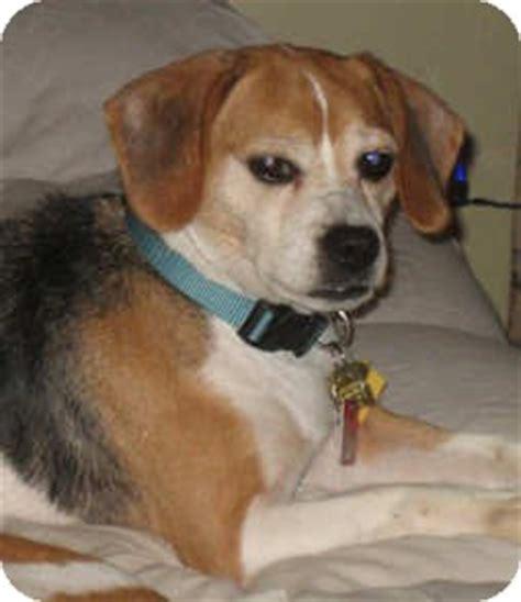 chihuahua yorkie beagle mix snoogie adopted 2445 novi mi beagle chihuahua mix