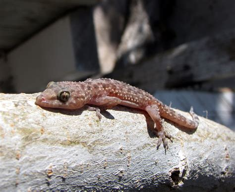 mediterranean house gecko file mediterranean house gecko jpg wikimedia commons