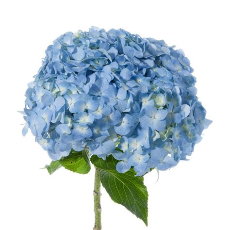 Flower Jumbo blue hydrangea jumbo hydrangea types of flowers flower muse