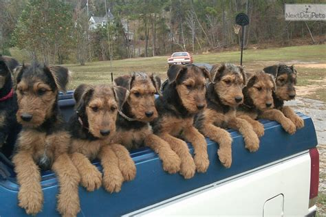 airedale puppies for sale darren s airedales airedale terrier puppy for sale near huntsville decatur alabama
