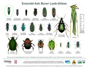 Methods Of Plant Disease Management - emerald ash borer in indiana from purdue entomology