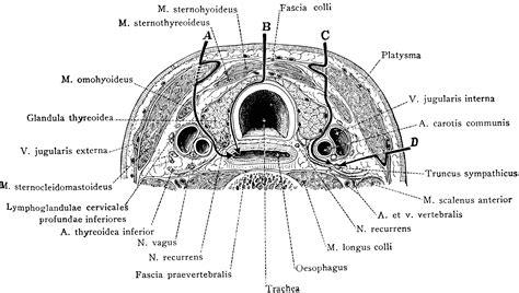 cervical section cross section of neck at the 7th cervical vertebra
