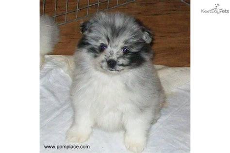 blue merle parti pomeranian pomeranian puppy for sale near huntsville decatur alabama 050a04bf 3341