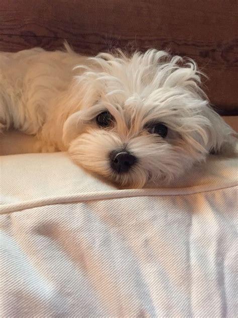 maltese puppy names 5934 best maltese images on