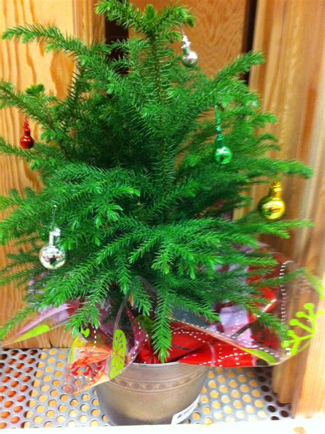 are real christmas trees greener green action centre
